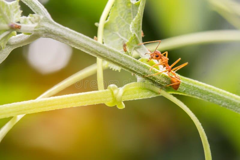 De mieren die op de takken lopen stock afbeelding