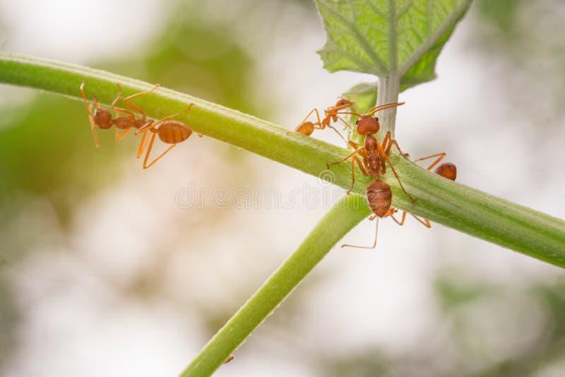 De mieren die op de takken lopen stock foto