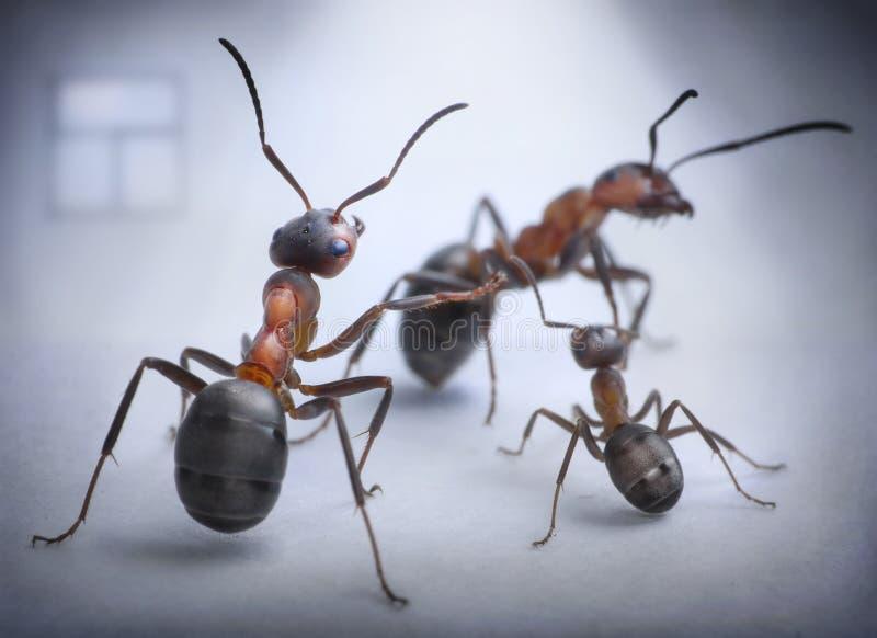 De mieren spelen menselijke situatie van familieschandaal stock afbeeldingen