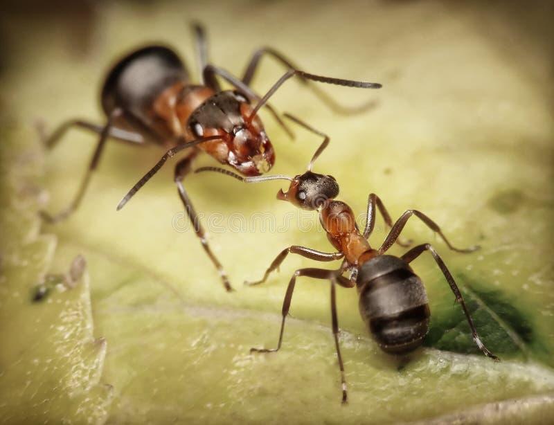 De mieren van de militair en van de arbeider, gevaar stock foto