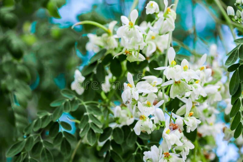 De de mierikswortelboom of Trommelstok hebben witte en geeloranje bloem royalty-vrije stock foto's