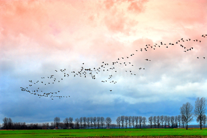 De migratie van de gans royalty-vrije stock foto