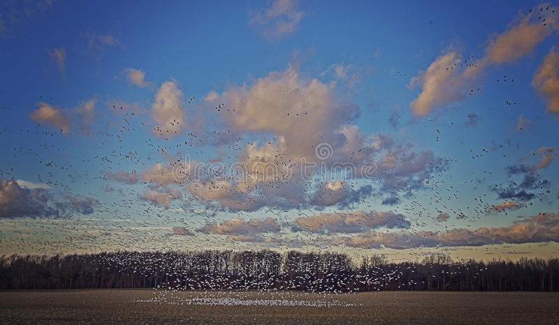 De Migratie van de sneeuwvogel royalty-vrije stock afbeelding