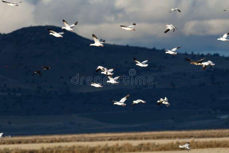 De migratie van sneeuwganzen royalty-vrije stock foto's