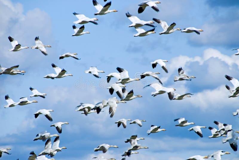 De migrerende Ganzen van de Sneeuw stock afbeelding