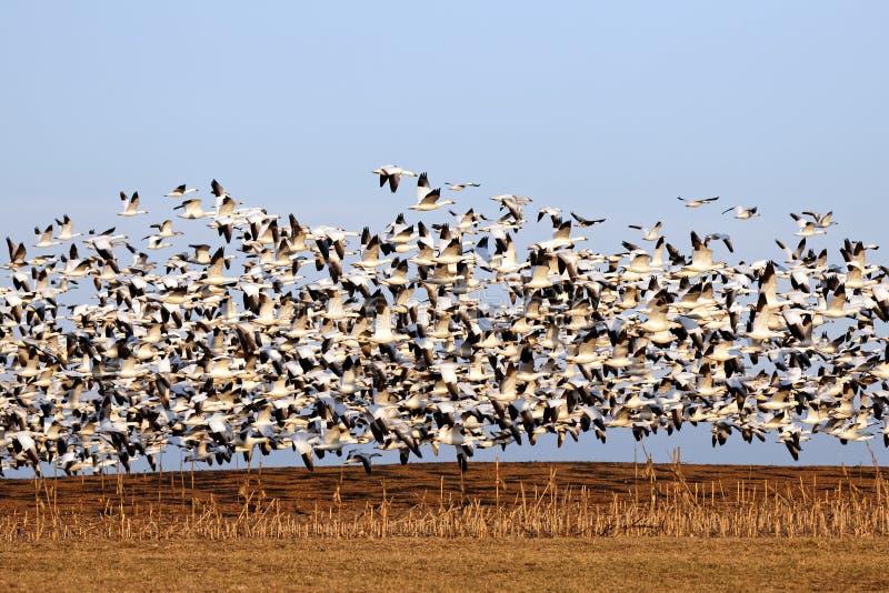 De migrerende Ganzen van de Sneeuw tijdens de vlucht royalty-vrije stock afbeeldingen