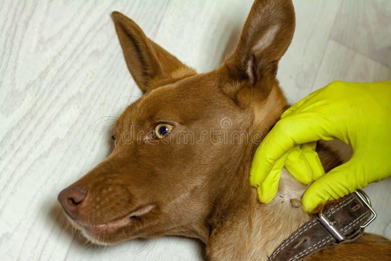 De mijt bijt een roodachtige hond stock afbeeldingen