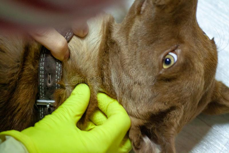 De mijt bijt een roodachtige hond stock fotografie