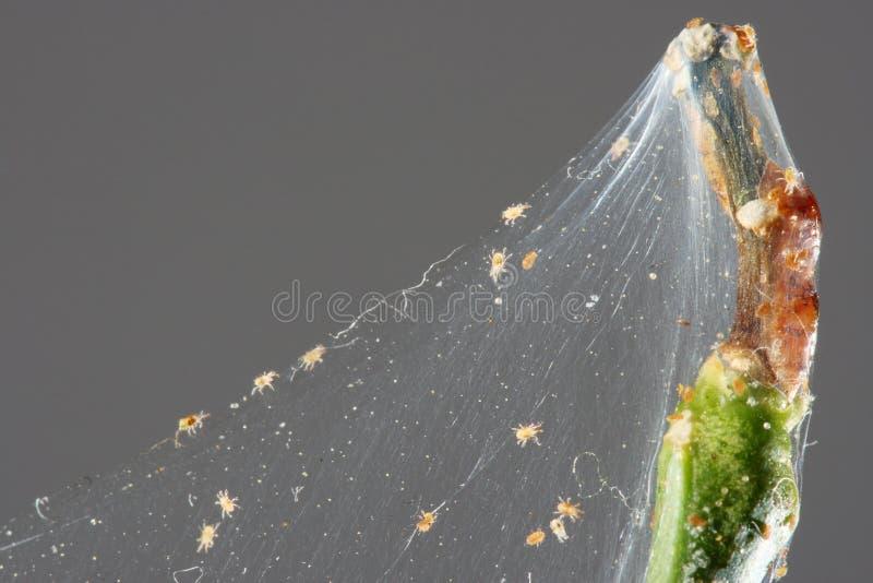 De mijt van de spin stock afbeeldingen