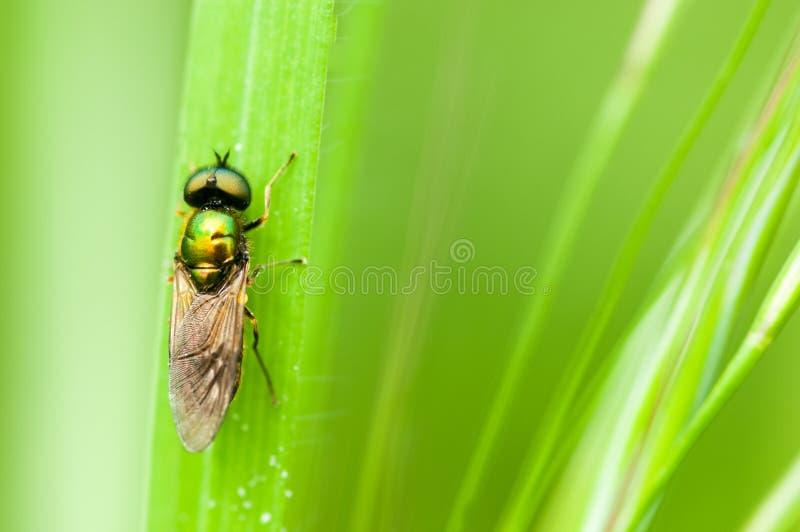 De militairvlieg van het insectportret royalty-vrije stock afbeelding