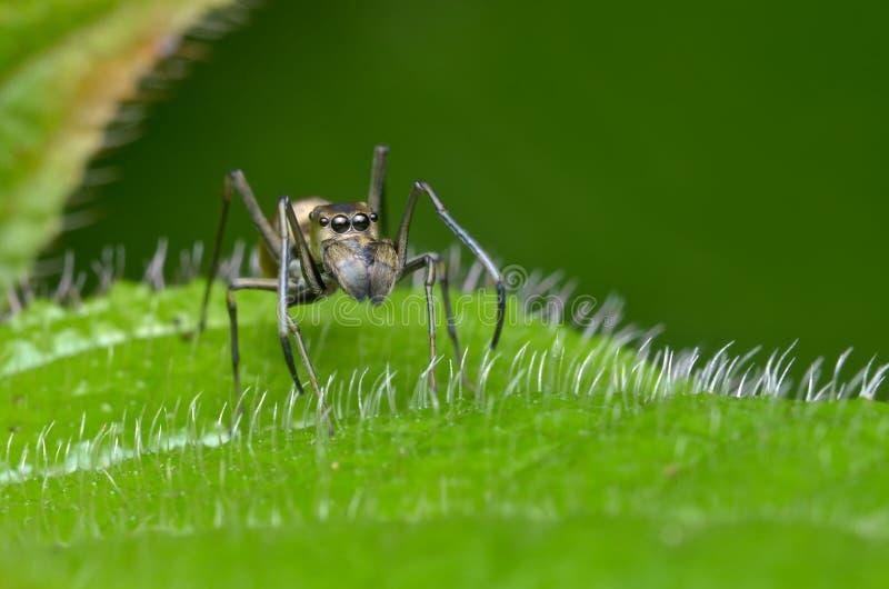 De mimische spin van de mier stock afbeelding