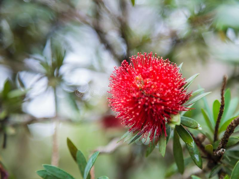 De mimosa Pudica de gevoelige installatie, slaperige installatie, shameplant, schuwe installatie, me raakt toont geen rode bloeie stock afbeelding