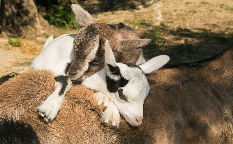 De mini dwerggeiten die van Nigeria omhoog hun mamma slapen royalty-vrije stock afbeelding