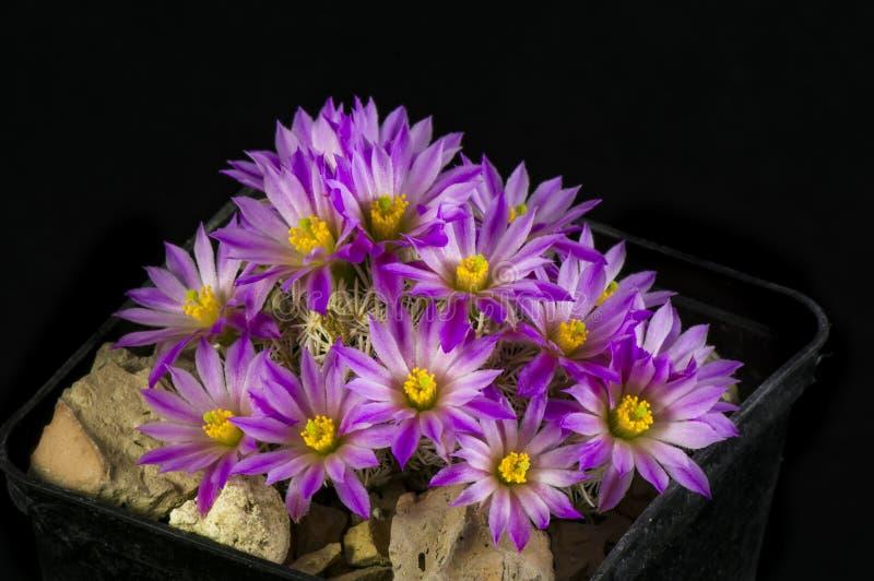 De minima van cactusescobaria royalty-vrije stock foto