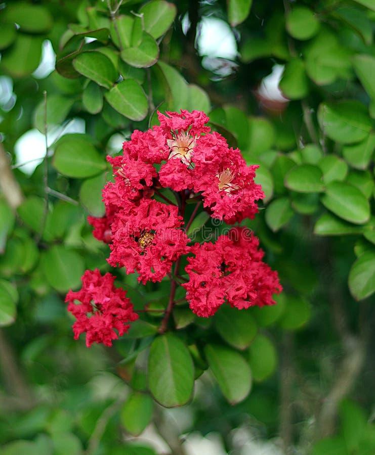 De mirtebloemen van de close-up rode rouwband royalty-vrije stock fotografie
