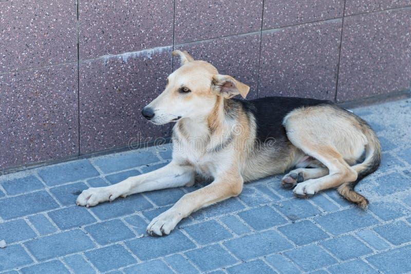 De miserabele hongerige verdwaalde bastaarde hond of het puppy die op de bestrating van de stad of de stad in de zonnige dag legg royalty-vrije stock afbeelding