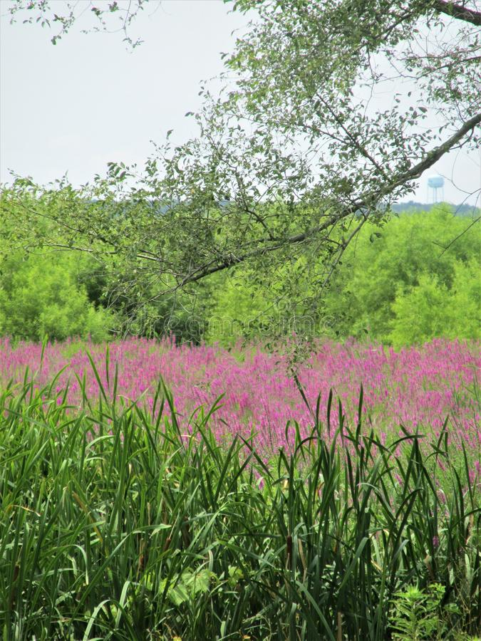 De Mississippi Marsh Flowers royalty-vrije stock afbeelding