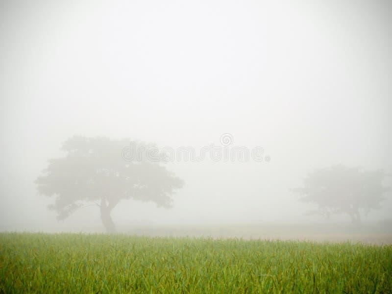 De mist over het groene padieveld en twee grote bomen royalty-vrije stock afbeelding