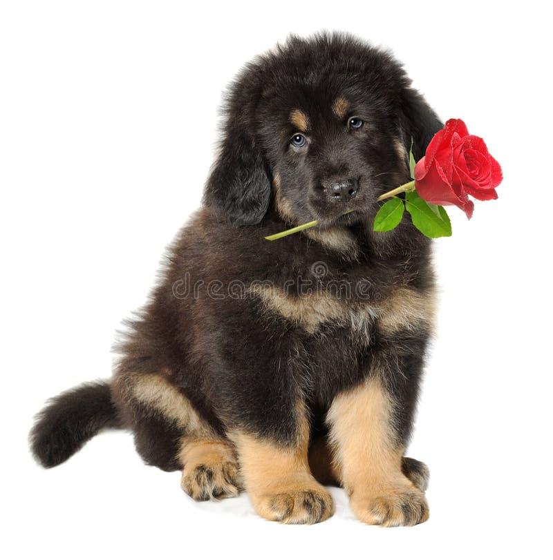 De mist van het puppy met bloem royalty-vrije stock foto