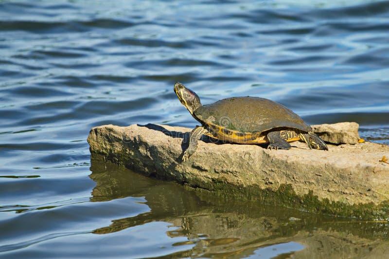 De modderschildpad zonnebaadt op een grote rots stock foto's