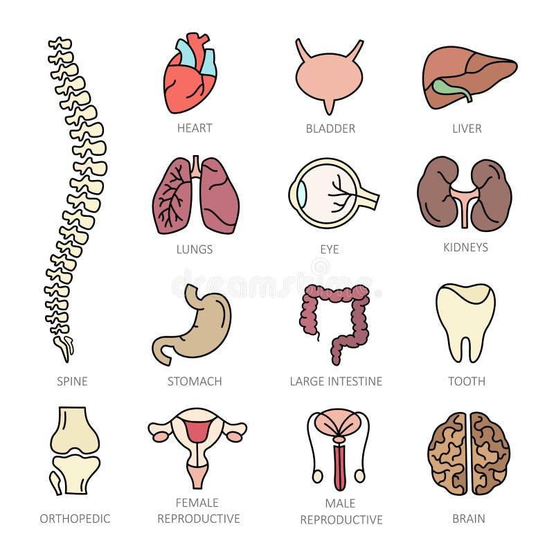 De moderne pictogrammen van de kleuren dunne lijn op de menselijke interne organen van een themageneeskunde royalty-vrije illustratie