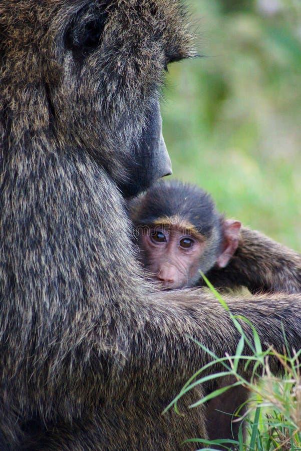 De Moeder en de Baby van de baviaan stock afbeeldingen