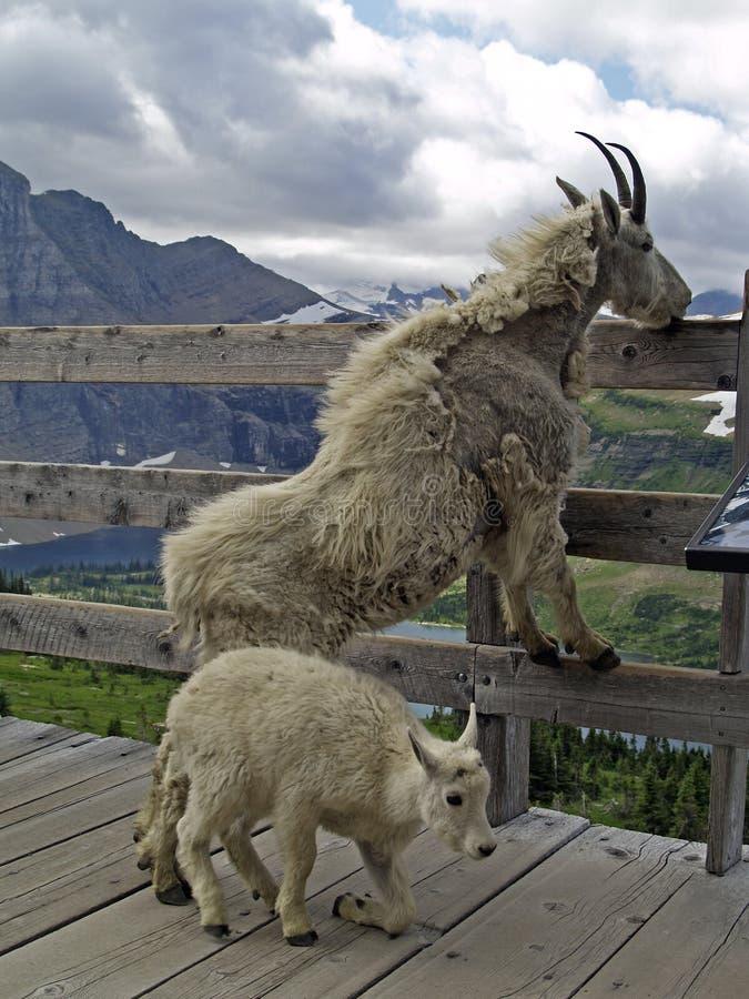 De Moeder en het Jonge geitje van de Geit van de berg royalty-vrije stock fotografie