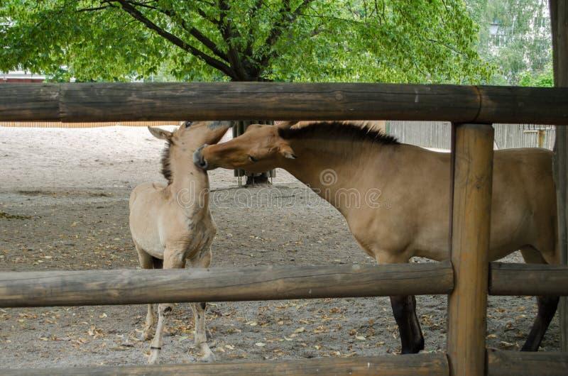 De moeder en de zoon van Przewalski` s paarden stock afbeelding