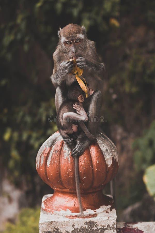 De moeder van de aap met Baby royalty-vrije stock afbeelding