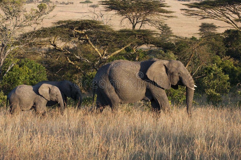De moeder van de olifant met kalf royalty-vrije stock afbeelding