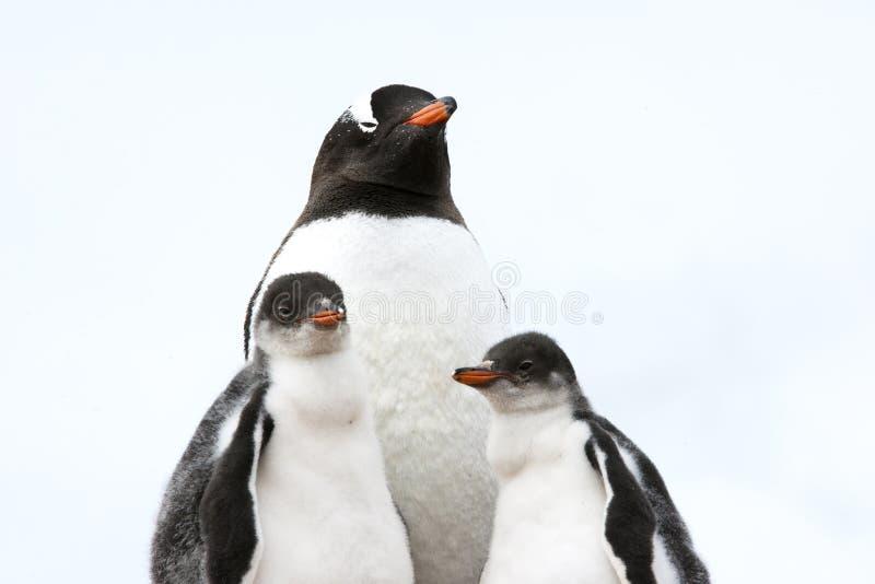 De moeder van de pinguïn met kuikens - gentoopinguïn royalty-vrije stock fotografie