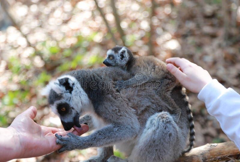 De moeder van een ring-de steel verwijderde van maki met een baby op haar zit terug op een tak en likt een man hand De baby strij stock foto