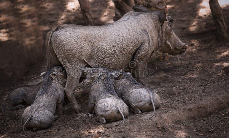 De moeder van het wrattenvarken en haar babys stock foto