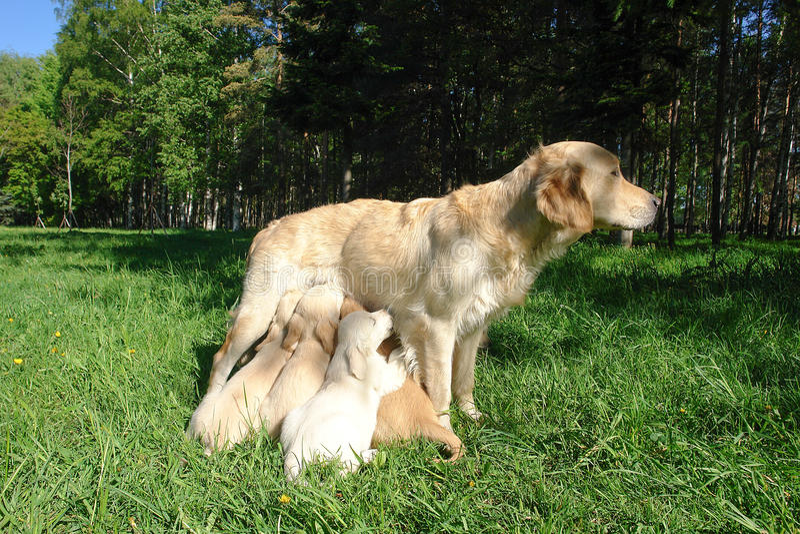 De moeder voedt de puppy op het gazon stock foto's