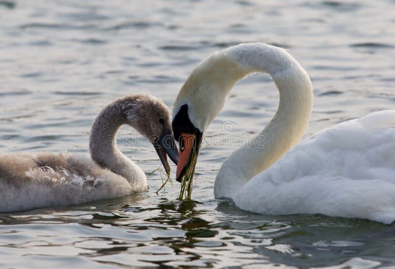 De moeder-zwaan en haar zoon De vorm van het hart stock afbeeldingen