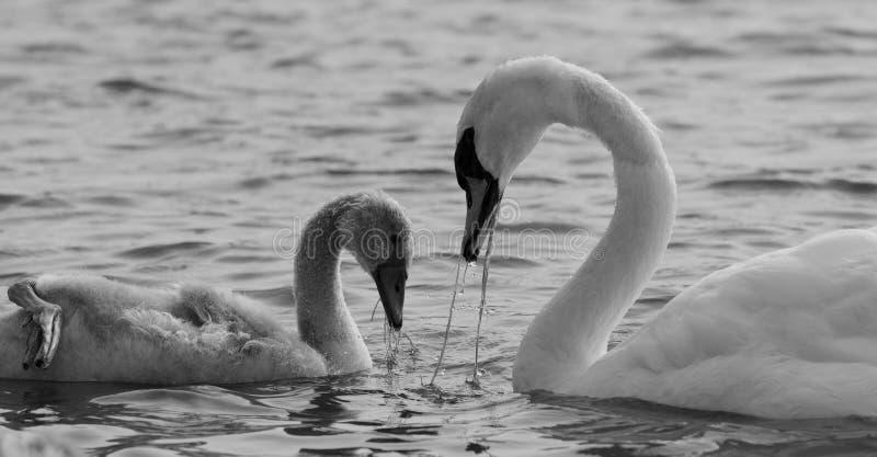 De moeder-zwaan en haar zoon eten samen stock afbeelding