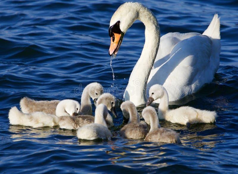 De moeder-zwaan helpt haar kuikens om de algen te krijgen royalty-vrije stock fotografie