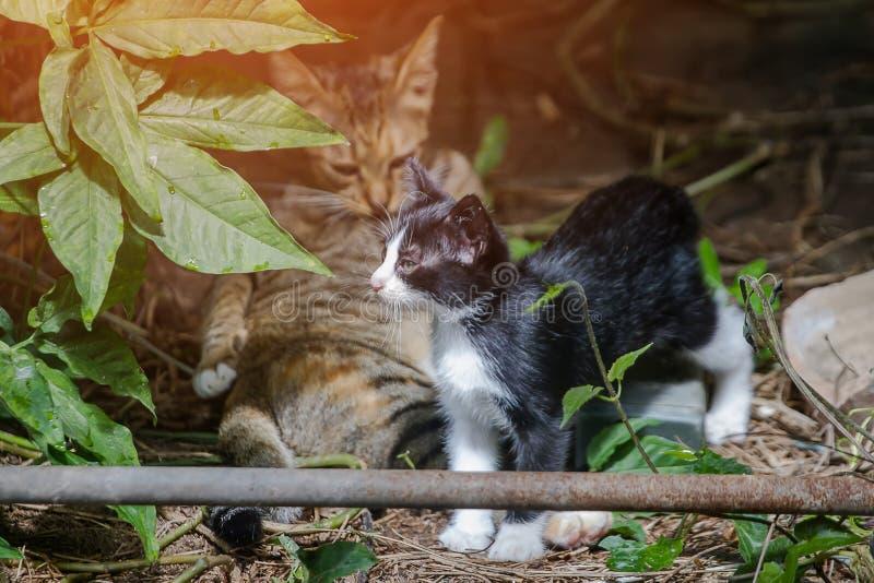 De moederkat die reinigingsmachine zelf likken en let op katjes ongehoorzaam spelen stock afbeelding