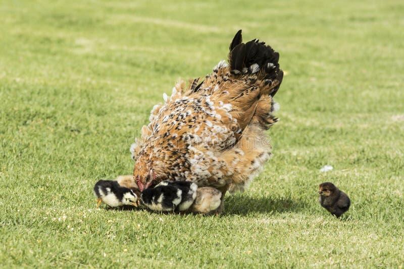 De moederkip zet neer zijn hoofd naar haar jonge kuikens stock afbeeldingen