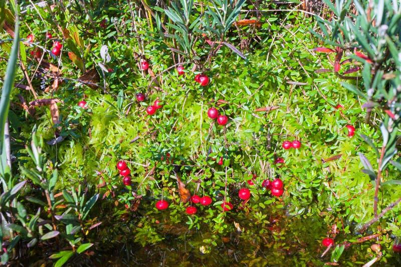 De mogna tranbären växer från under mossan och översvämmar vatten royaltyfria foton