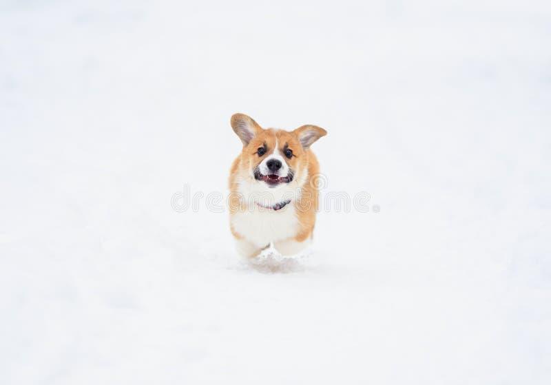 De mollige pret die van Corgi van de puppyhond rode op de witte sneeuw in lopen wintergarden op de gang stock fotografie