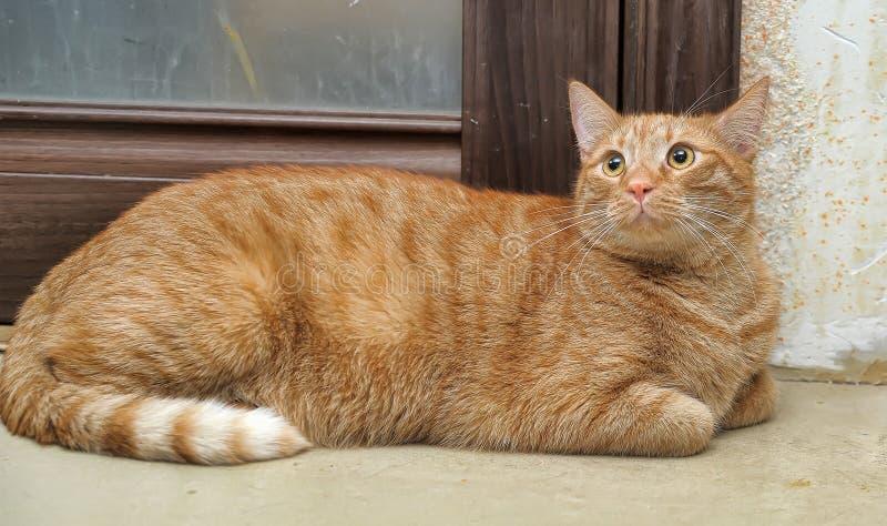De mollige rode kat legt stock foto's