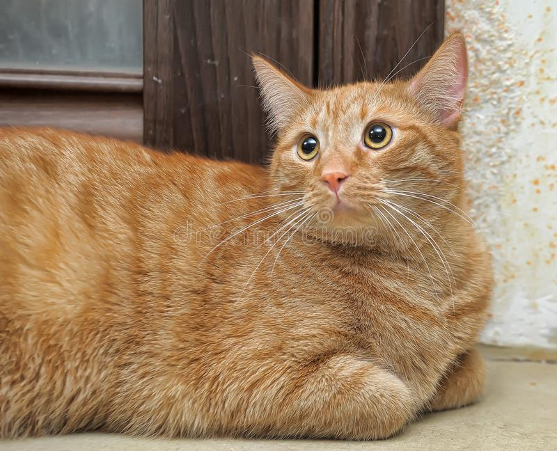 De mollige rode kat legt stock fotografie