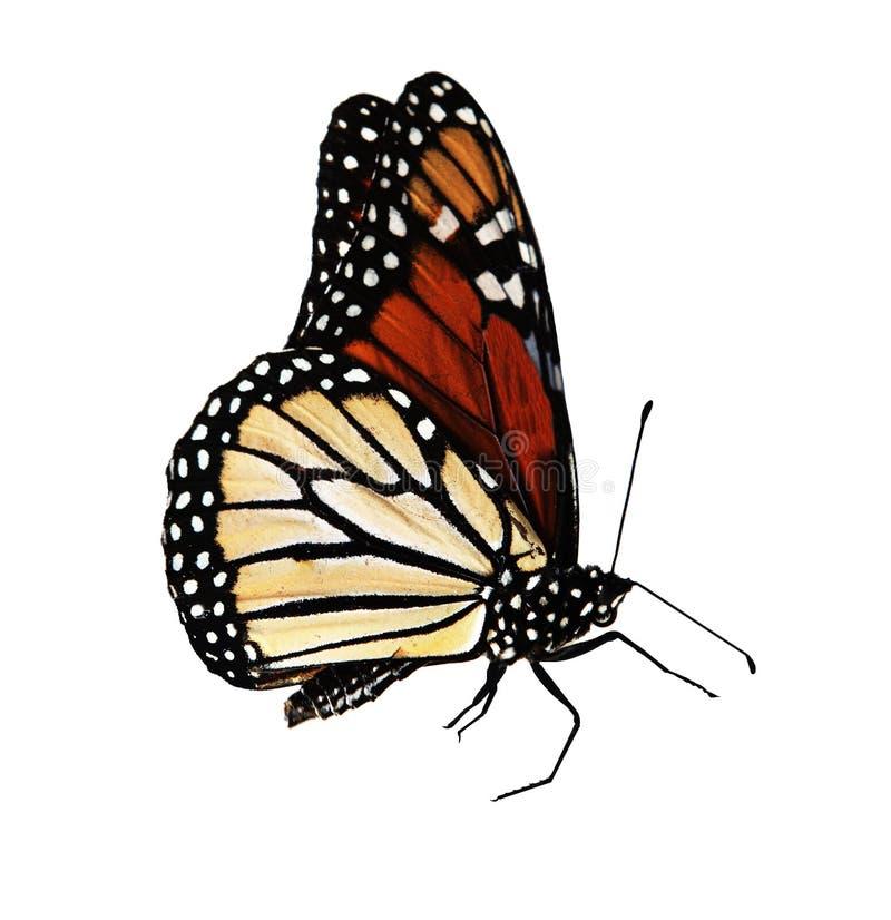 De Monarch van de vlinder royalty-vrije stock fotografie