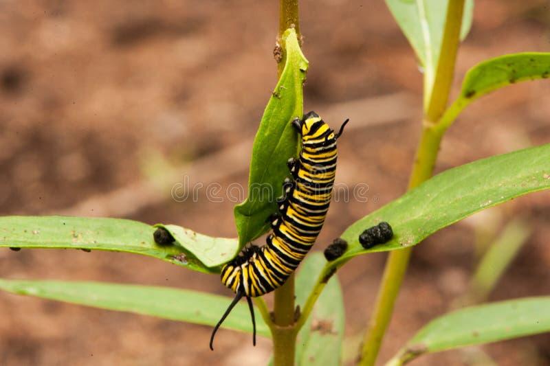 De monarchrupsband op a milkweed installatie royalty-vrije stock afbeeldingen