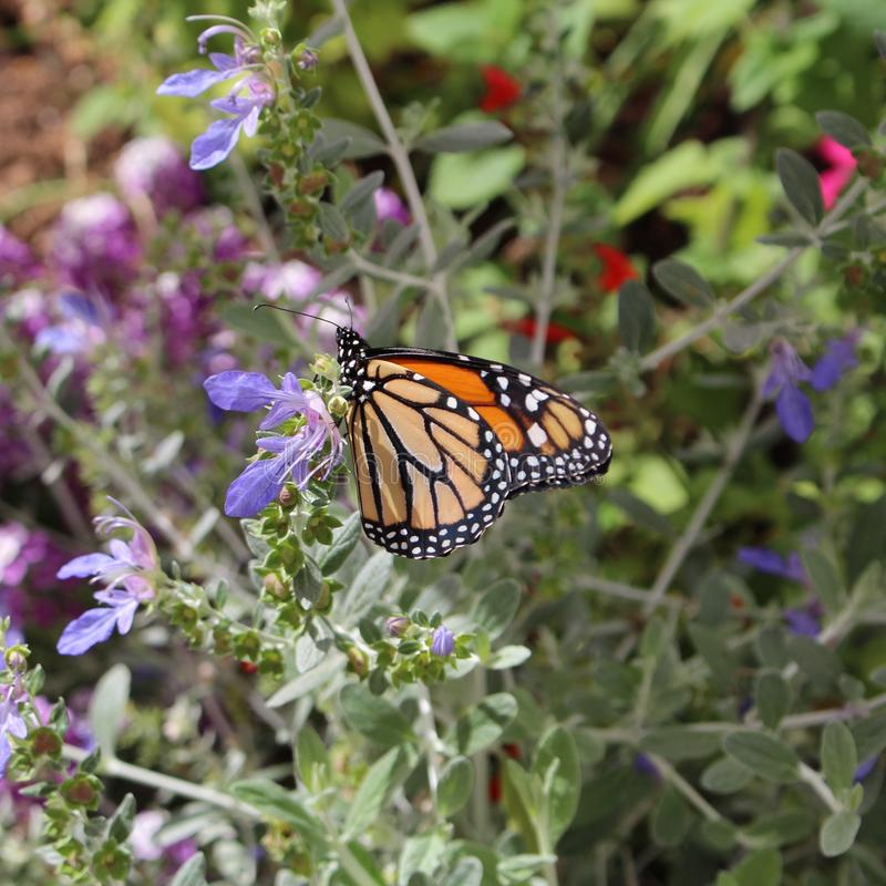 De Monarchvlinder stock fotografie
