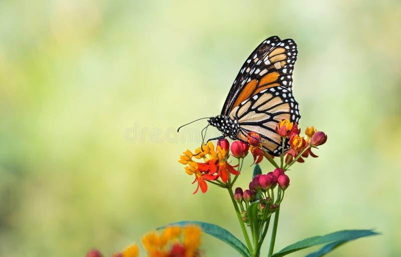 De monarchvlinder op tropisch milkweed bloemen stock afbeelding