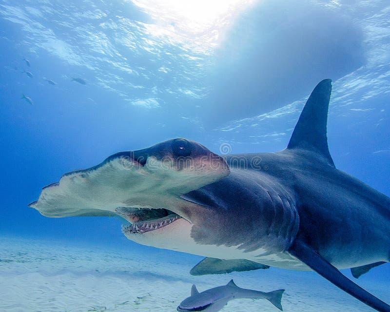 De Mond van een Grote Hammerhead-Haai in de Bahamas stock fotografie