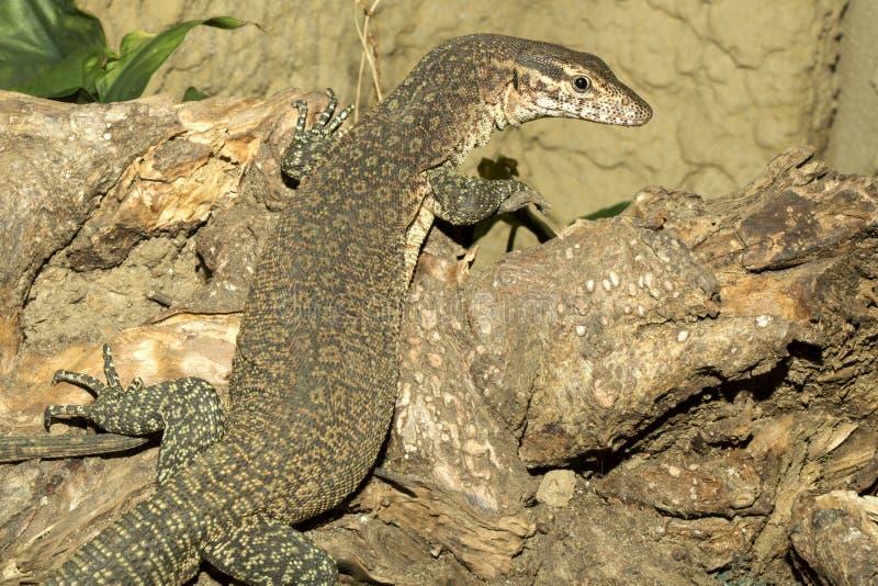 De Monitor van Timor, Varanus-timorensis, het kleine endemische leven op het Eiland Timor stock afbeeldingen