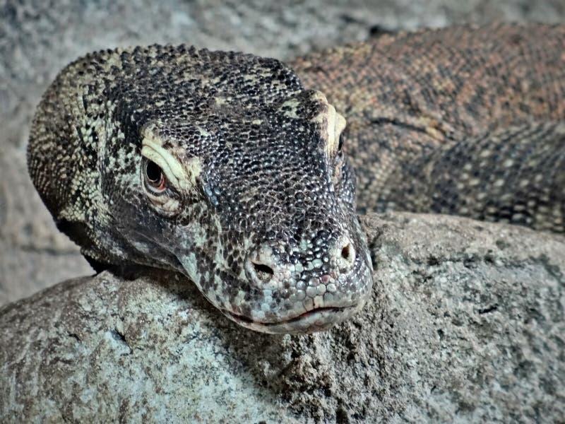 De monitorhagedissen zijn grote hagedissen in de soort Varanus De grootste moderne species van de soort is Komodo-draak stock fotografie